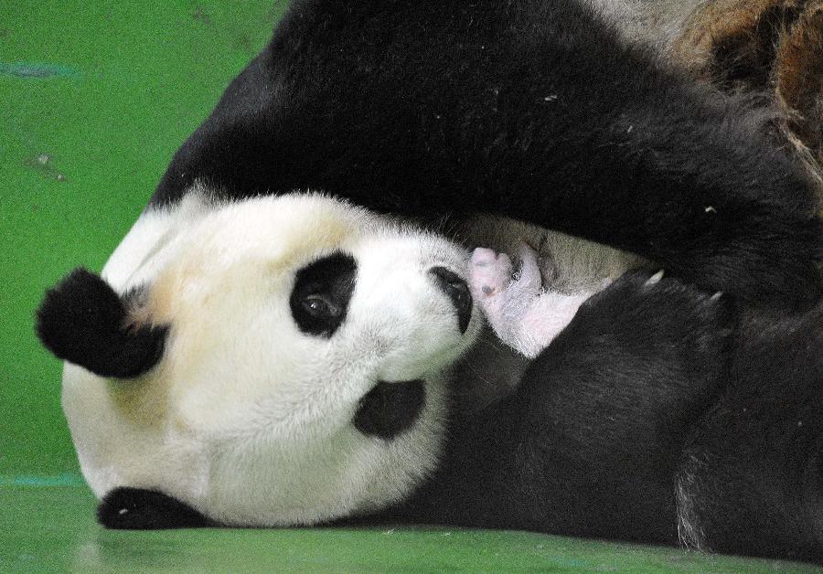 新华社照片,广州,2014年8月12日广州成功繁育全球首例存活的大熊猫三胞胎这是广州长隆野生动物世界提供的大熊猫妈妈菊笑怀抱一只幼仔的照片(8月10日摄)。 7月29日,在广州长隆野生动物世界,来自四川卧龙的大熊猫妈妈菊笑于凌晨00:5504:50陆续诞下三只熊猫幼仔。经过中国保护大熊猫研究中心专家和长隆专业饲养员团队日夜监护,目前三胞胎大熊猫幼仔已经平安度过危险期。这是目前全球首例全部存活的三胞胎大熊猫幼仔。新华社发