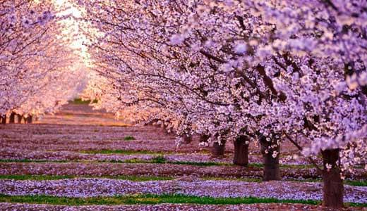 日本的樱花,尤其是吉野地区的樱花,乃是淡淡的粉红色.