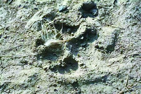 图片说明:神秘动物留下的脚印.