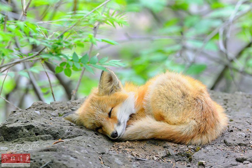 萌化人心:狐狸宝宝照片风靡网络