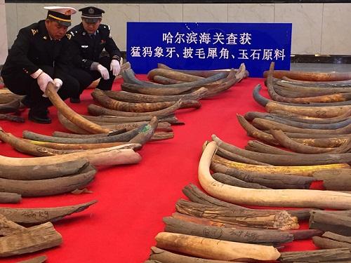 哈尔滨海关查获近年全国最大猛犸象牙走私案 缴获猛犸象牙107根