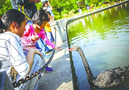徐家汇公园的黑天鹅陪伴游客度过了许多欢乐时光 /晨报记者 张佳琪