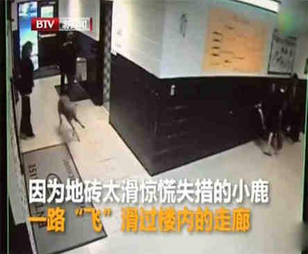 小鹿意外闯进学校 被周围的学生吓到走廊里疯狂奔跑冲出去