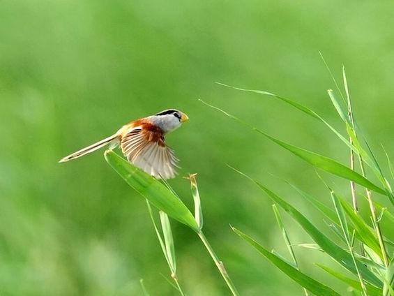 北京发现震旦鸦雀 数量稀少已被列入国
