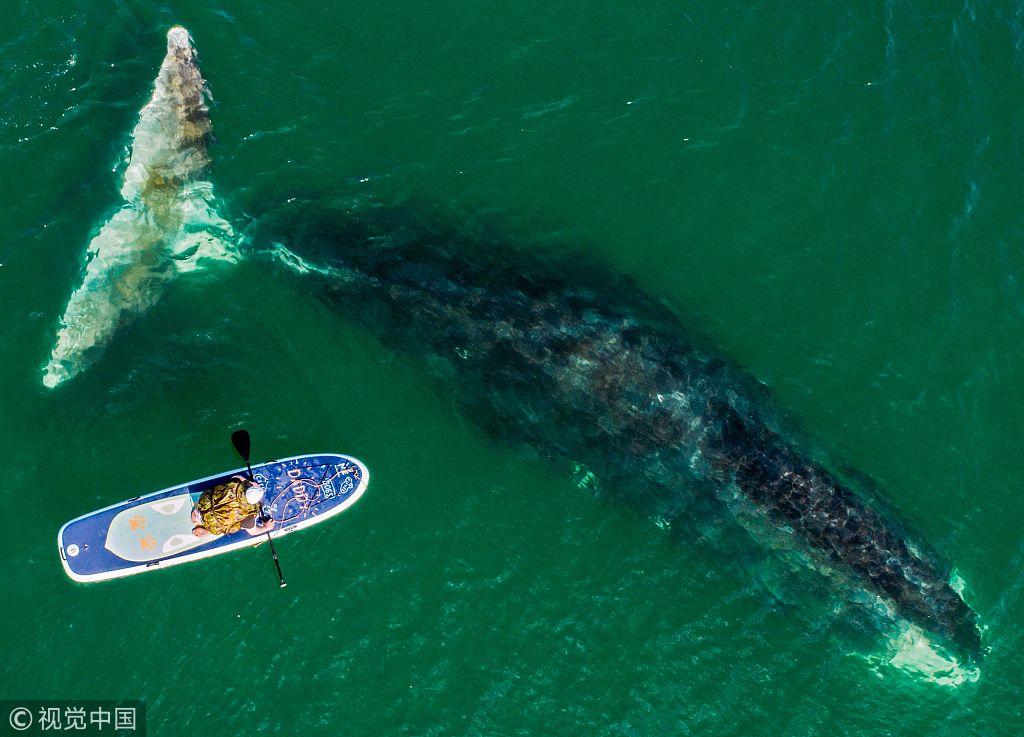 俄罗斯海湾现海洋巨兽