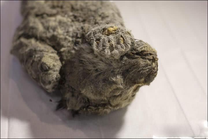 科学家发现冰冻四万年幼狮