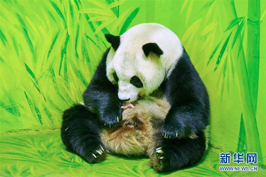 梅清经历约5个月的孕期以后,于9月30日13:50产下熊猫小宝宝,新出生的图片