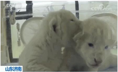 济南双胞胎白狮出生 十分稀有全球仅百只左右