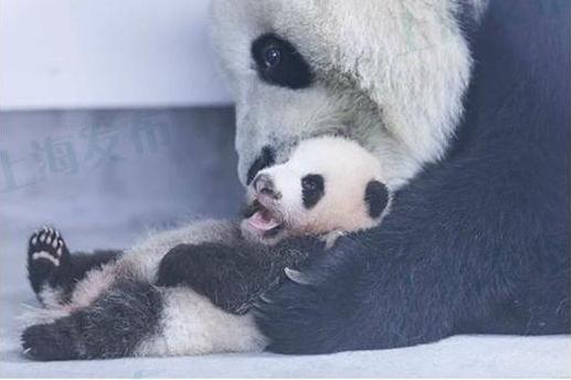 http://news.online.sh.cn/news/gb/content/attachement/jpg/site1/20161019/IMG90b11c9b88aa4268365507.jpg /enpproperty-->   10月17日是上海熊猫花生的百天,据上海野生动物园工作人员介绍,花生又胖了一圈,现在体重已经达到了5440克。而且又学会了一项新技能爬行。   花生,作为首只拥有上海户口的熊猫,在上海可是集万千宠爱于一身。下面就看看熊猫花生的成长日志。    上海野生动