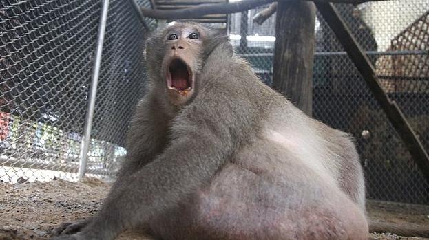 野生动物管理局在曼谷的一个市场里抓到了它,这只猴子的年龄在10岁