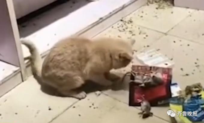 《【星图在线平台】山东这只猫火上热搜!连捉4只老鼠,还整齐摆在一起!主人被吓到腿软》