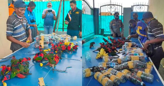 印尼74只珍稀鹦鹉被塞进塑料瓶走私 发现时已有10只黑顶鹦鹉死亡