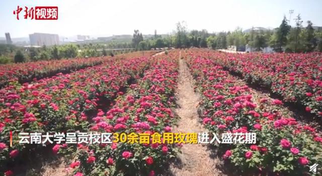 《【星图代理平台】云南大学食堂推出玫瑰宴 校园种植玫瑰花能观赏也能吃》