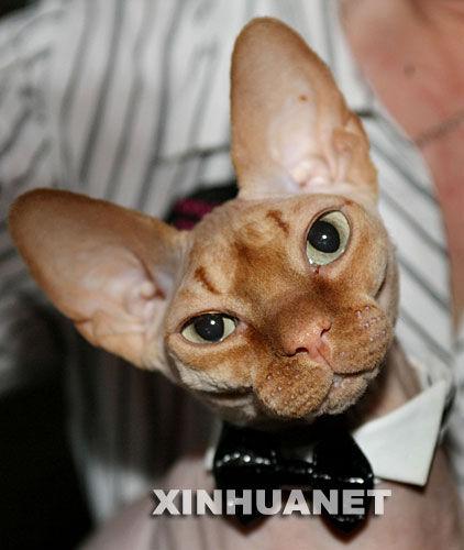 世界名猫纽约争 王 组图图片